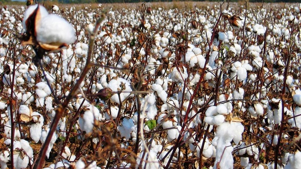 mississippi_cotton_fields