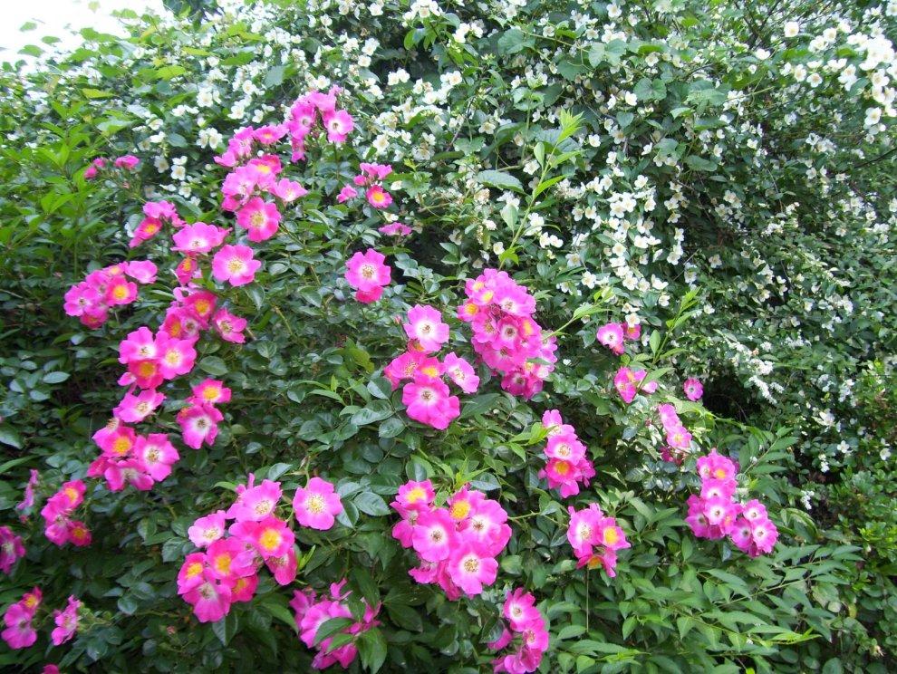 rose67